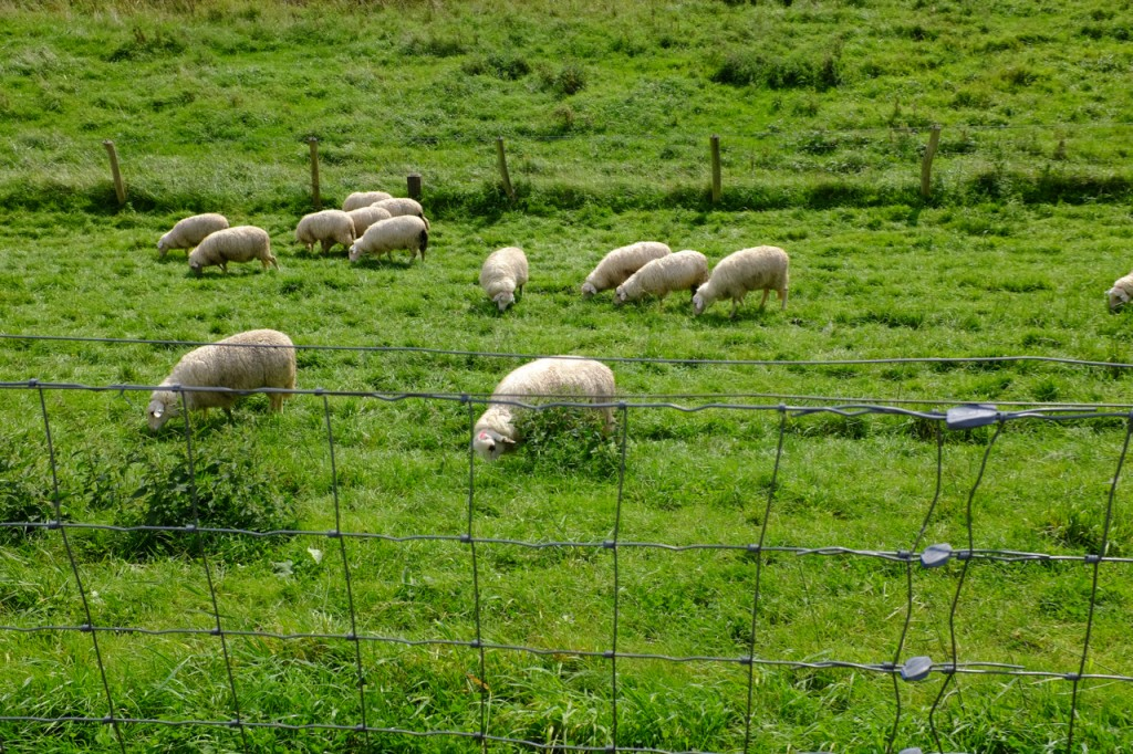 Past happy, grazing sheep
