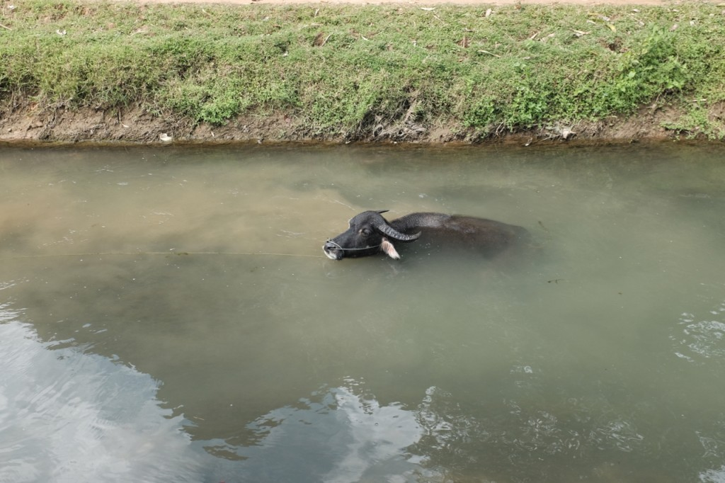 water buffalo cooling off