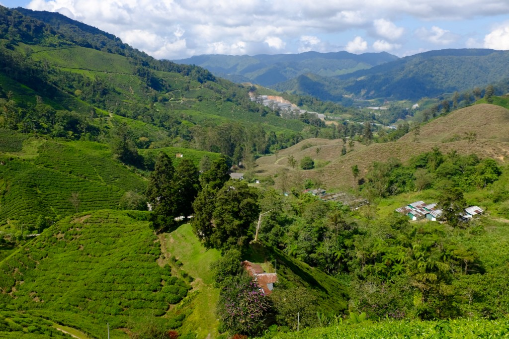 Tea bushes and the valley