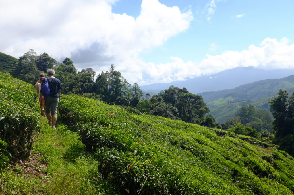 Walking through the BOH tea plantation