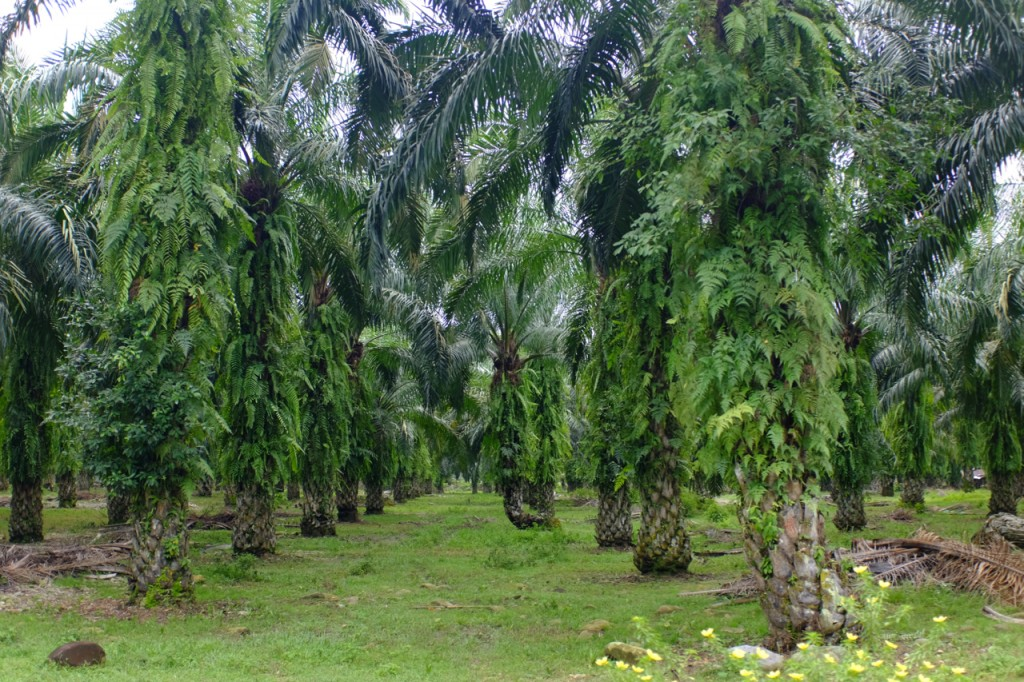 Endless rows of oil palms