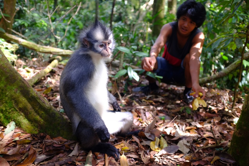 Local guide feeding a Thomas Leaf Monkey