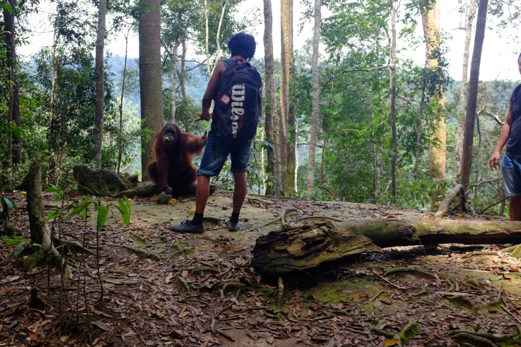 Local guide feeding an orangutan